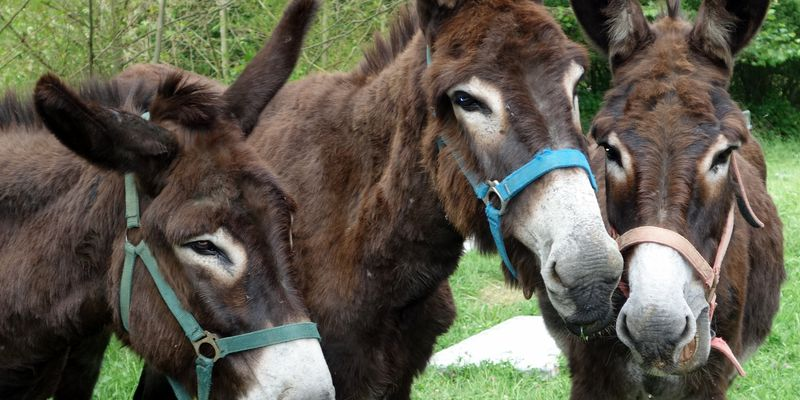 The donkeys of Rioumajou, close to Saint-Lary in Pyrenees
